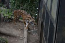 上野動物園のトラの画像002