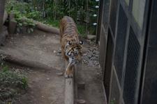 上野動物園のトラの画像003