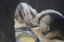 上野動物園のコアリクイの画像010