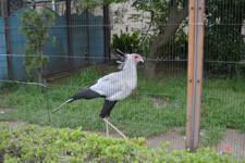 上野動物園のヘビクイワシの画像003