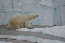 上野動物園のシロクマの画像003