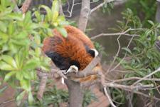 上野動物園のレッサーパンダ
