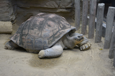 上野動物園のリクガメの画像001