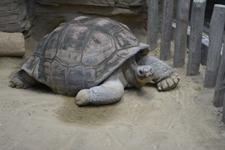 上野動物園のリクガメの画像002