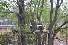上野動物園のオオワシ
