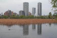 上野恩賜公園の不忍池の画像001