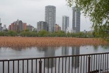 上野恩賜公園の不忍池の画像002