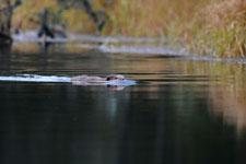 デナリ国立公園のビーバーの画像001
