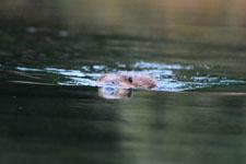 デナリ国立公園のビーバーの画像002