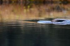 デナリ国立公園のビーバーの画像007