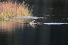 デナリ国立公園のビーバーの画像008