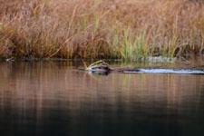 デナリ国立公園のビーバーの画像009