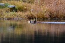 デナリ国立公園のビーバーの画像010