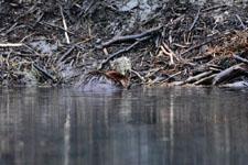 デナリ国立公園のビーバーの画像012