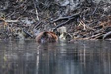 デナリ国立公園のビーバーの画像013