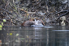 デナリ国立公園のビーバーの画像017