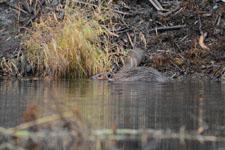デナリ国立公園のビーバーの画像019