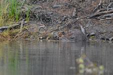 デナリ国立公園のビーバーの画像022