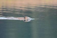デナリ国立公園のビーバーの画像025