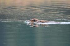 デナリ国立公園のビーバーの画像026