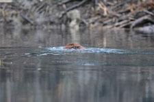 デナリ国立公園のビーバーの画像027