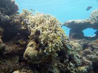 沖縄のサンゴ礁の画像003