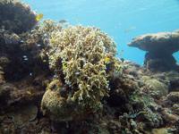 沖縄のサンゴ礁の画像005