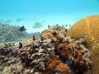 沖縄のミツボシクロスズメ