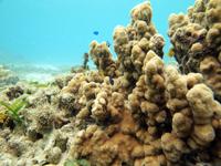 沖縄のサンゴ礁の画像006