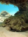 サンゴの下に隠れるギンポの画像002