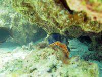 サンゴの間に隠れるハコフグ