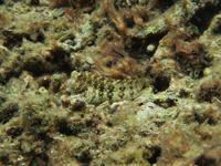サンゴに紛れるギンポの画像001