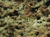 サンゴに紛れるギンポの画像002
