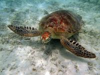 沖縄のアカウミガメの画像006