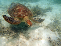 沖縄のアカウミガメの画像009