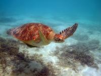 沖縄のアカウミガメの画像010