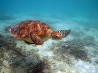 沖縄のアカウミガメの画像011