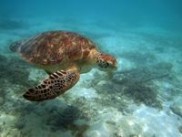 沖縄のアカウミガメの画像012
