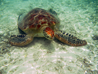 沖縄のアカウミガメの画像013