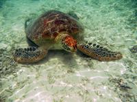 沖縄のアカウミガメの画像014
