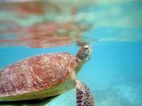 沖縄のアカウミガメの画像017
