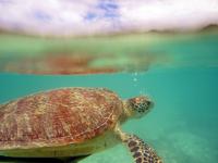 沖縄のアカウミガメの画像018