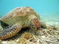 沖縄のアカウミガメの画像019