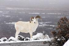 デナリ国立公園のオオツノヒツジの画像001