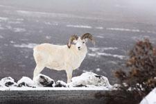 デナリ国立公園のオオツノヒツジの画像002