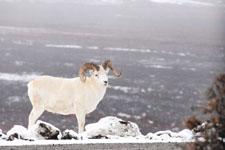 デナリ国立公園のオオツノヒツジの画像003
