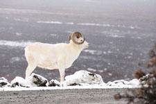 デナリ国立公園のオオツノヒツジの画像004