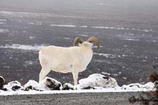 デナリ国立公園のオオツノヒツジの画像005