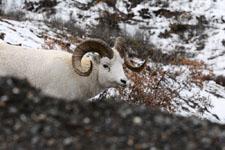 デナリ国立公園のオオツノヒツジの画像006