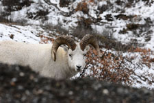 デナリ国立公園のオオツノヒツジの画像007